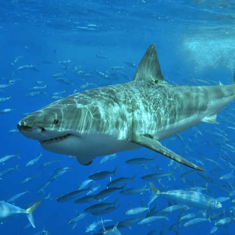 Great white shark; Photo: Terry Goss | CC-BY