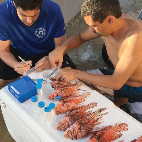Luiz Rocha doing lionfish stomach analysis