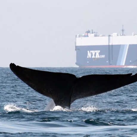 A whale fluke in the foreground with a giant container ship in the background