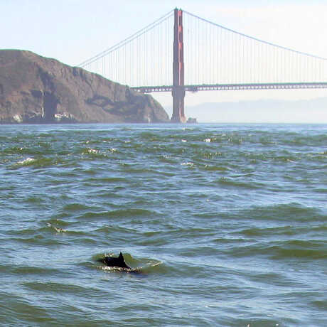 Photo of porpoise dorsal fin in San Francisco Bay with Golden Gate Bridge in background