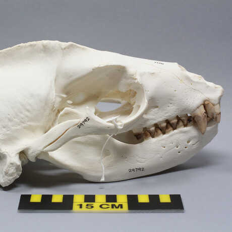 Skull of adult male eared seal