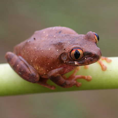 Big-eyed Treefrog, genus Leptopelis