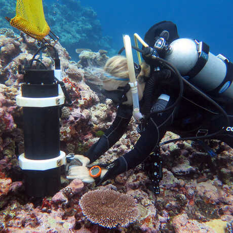 Underwater photo of Dr. Rebecca Albright collecting a coral specimen