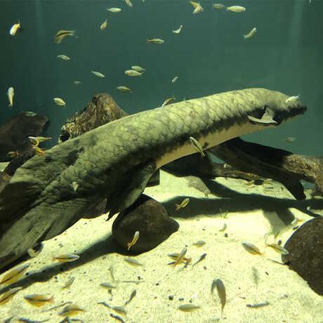Methuselah the Australian lungfish in her habitat at the Academy