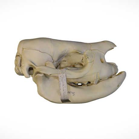 Black rhinoceros skull