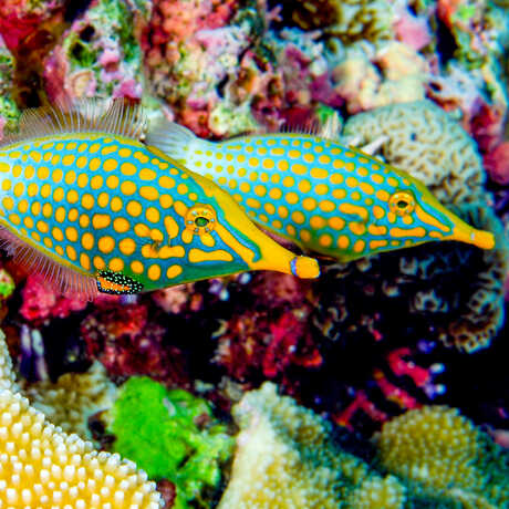 2 orange-spotted filefish next to a coral reef