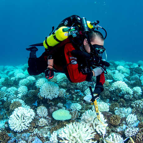 An Academy scuba diver examines bleached coral underwater