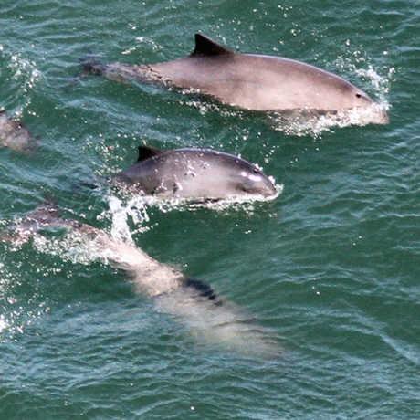 Harbor porpoises