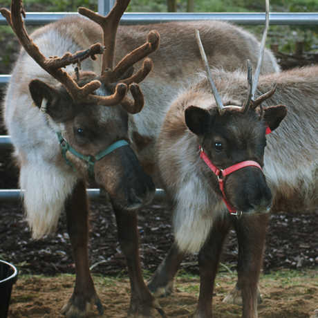 Live reindeer at 'Tis the Season exhibit
