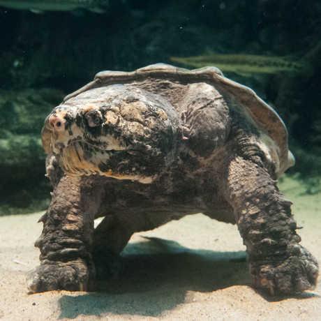 An alligator snapping turtle at Steinhart Aquarium