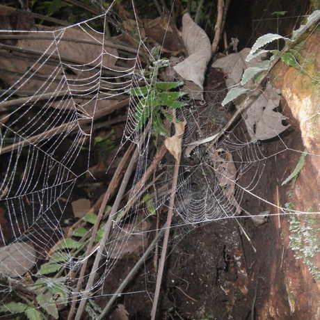 Thiridiosomatid webs on the cliffs along the Taitai River