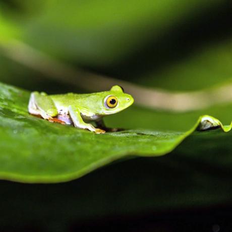 Madagascar tree frog