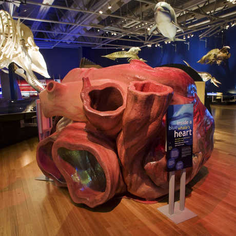 Replica of a blue whale heart