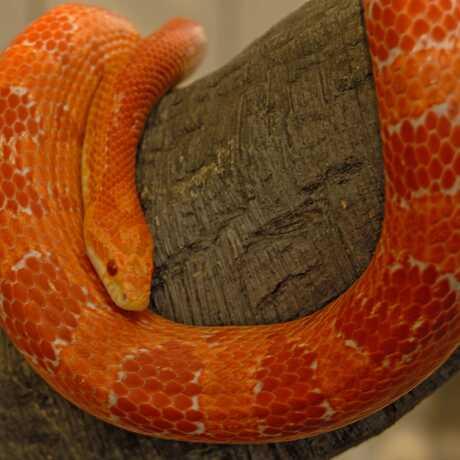 Albino Corn snake image