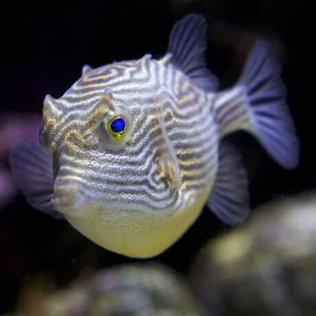 Close-up image of a beautiful cowfish