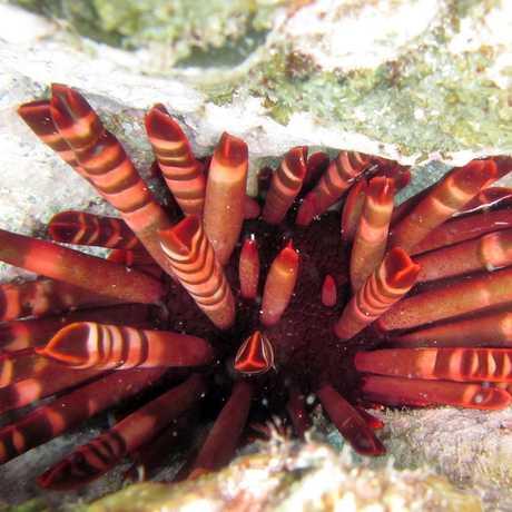 The sea urchin Heterocentrotus mamillatus