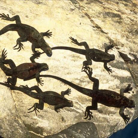 Hood Island Marine Iguana, from the Manzanita Collection