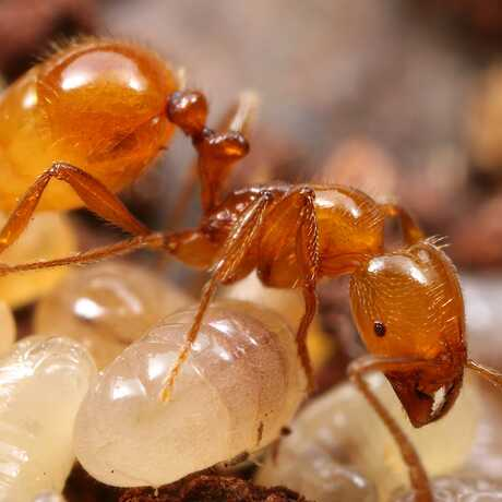 Ant with pupae