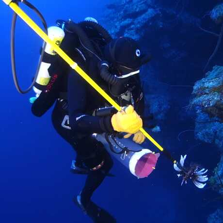 Spearing lionfish in the twilight zone