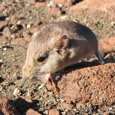 The Etendeka round eared sengi in Namibia