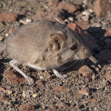 Etendeka round-eared sengi in Namibia