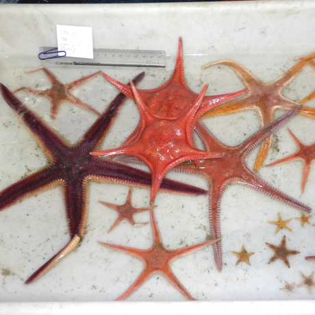 New species of starfish from Philippine waters