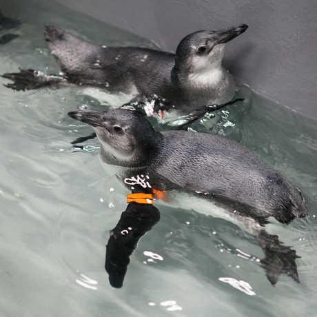 African penguin chicks swimming