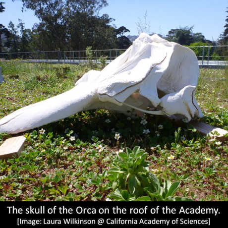 The skull of Orca O319 on the Living Roof