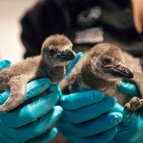 A biologist holds two newly hatched penguin chicks from the California Academy of Sciences