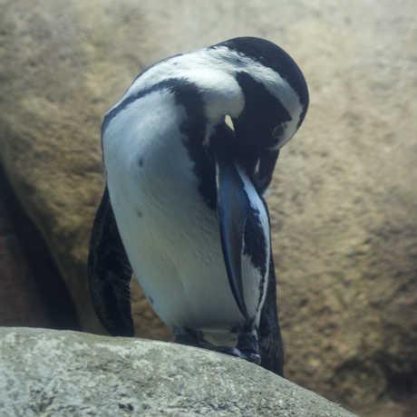 Penguin preening
