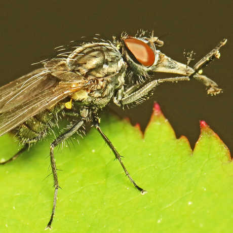 Pinocchio Fly (Musca longiproboscis) male ©Martin Cooper