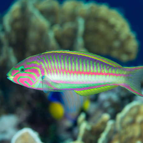 Fish endemic to the Red Sea
