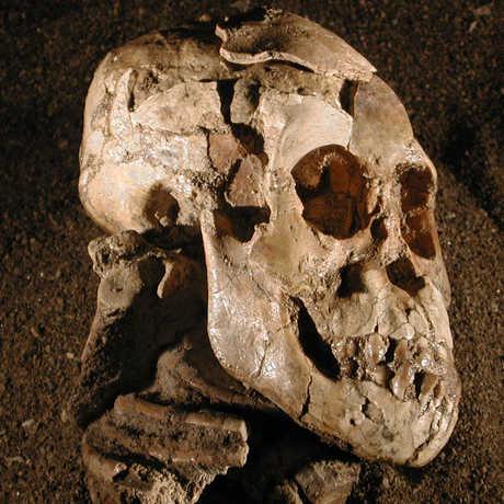 "Close up of the ""Selam"" Australopithecus afarensis skull."