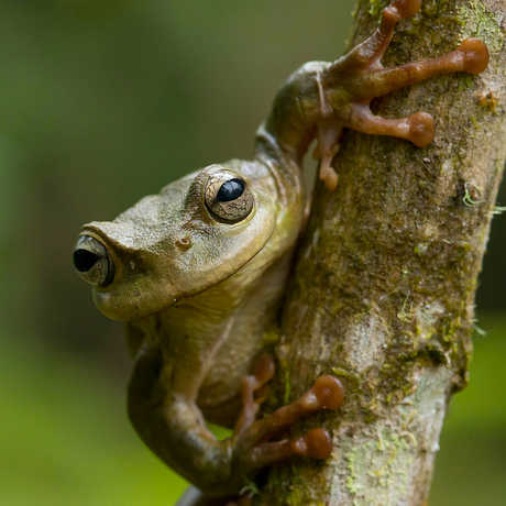 A close-up picture of a green tree frog on a tree trunk