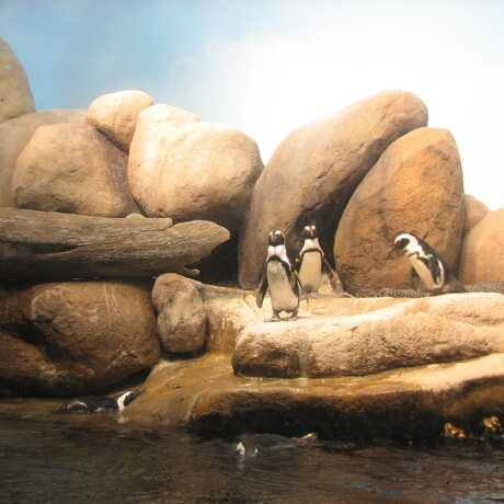 Penguin colony at the Academy