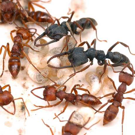 Ants from the Mystrium genus, described by Brian Fisher