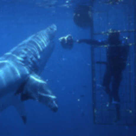 John McCosker swimming with great white