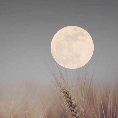 Harvest moon with wheat stalk in foreground