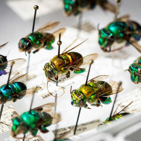 Bees from the scientific collections at the California Academy of Sciences