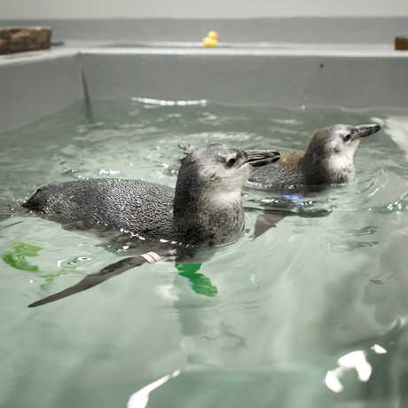 African penguin chicks learn to swim