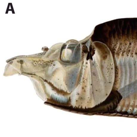 Monacoa grimaldii, PLoS ONE, doi:10.1371/journal.pone.0159762