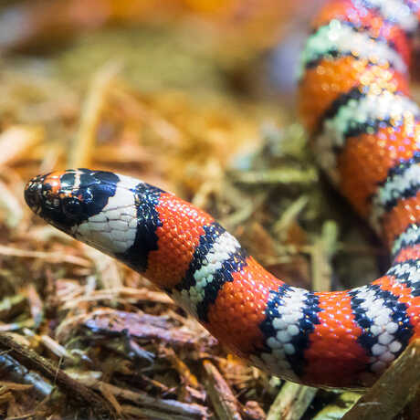 picture of a mountain king snake