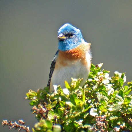 Photo of a Lazuli bunting