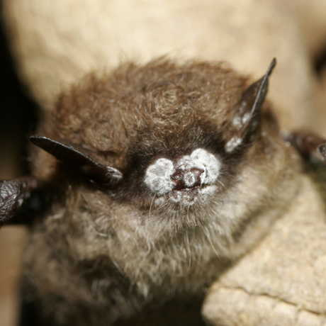 Bat with white nose syndrome, US Fish and Wildlife
