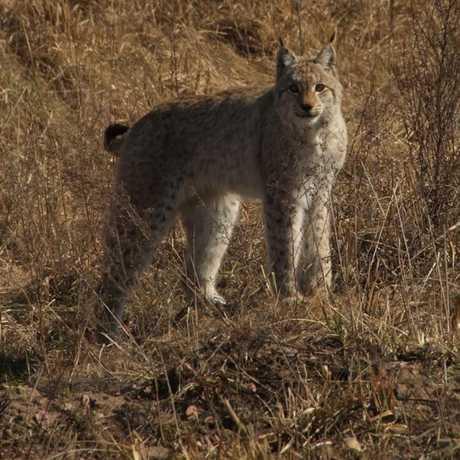 Lynx, Valeriy Yurko/T.G. Deryabina et al/Current Biology 2015
