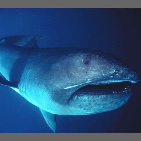 Megamouth shark, FLMNH Ichtyology