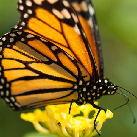 Monarch butterfly by William Warby/Flickr