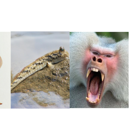 Ray, mudskipper, and baboon