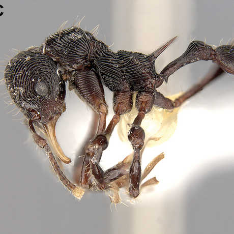 New ant discovered in vomit, C. Rabeling & J. Sosa-Calvo