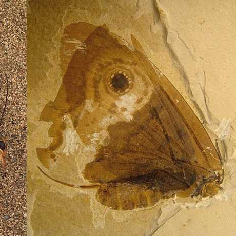 Owl butterfly, and fossilized kalligrammatid